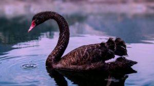 Črni labod - večja slika